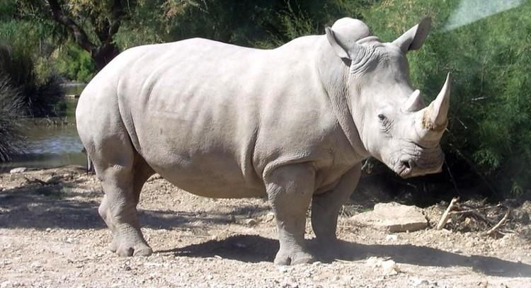 Empeora la salud de Sudan, el último rinoceronte blanco del Norte
